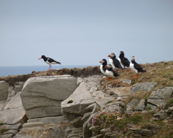 The Oyster Catcher and the Puffins on Fair Isle